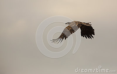 White-tailed Eagle in overcast skies