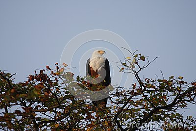 White Tailed Fish Eagle