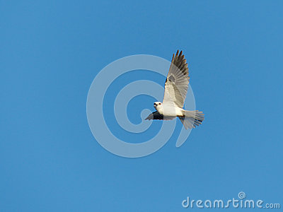A White-Tailed Kite Bird in Flight