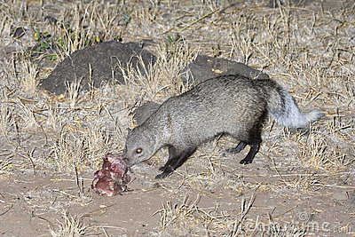 White-tailed Mongoose eating a bait.