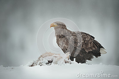 White-tailed Sea Eagle Royalty Free Stock Images - Image: 29298859