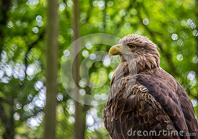 White-tailed Sea-eagle