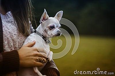 White Tan Smooth Chihuahua Free Public Domain Cc0 Image