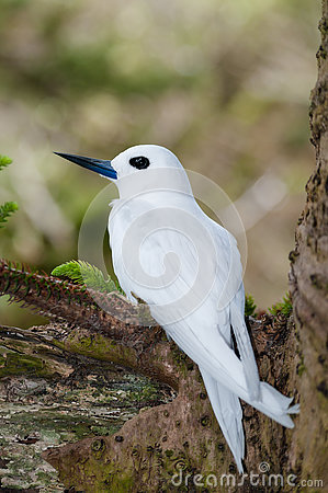 Free White Tern (Gygis Alba) Sitting On Egg Royalty Free Stock Images - 78963309