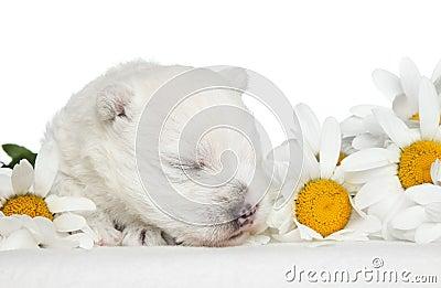 White Terrier puppy sleep in daisies
