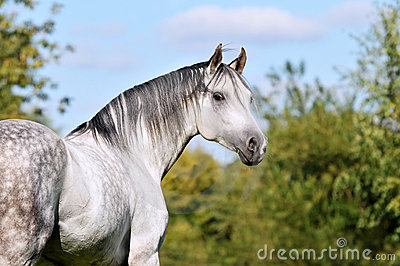 White Tersk horse portrait in summer