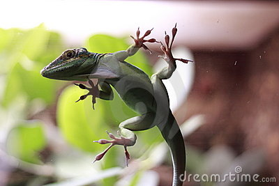 White-Throated anole