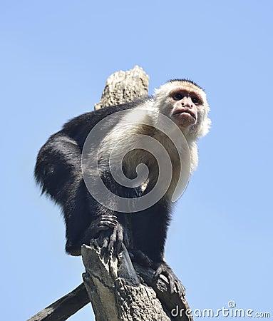 White-Throated Capuchin Monkey