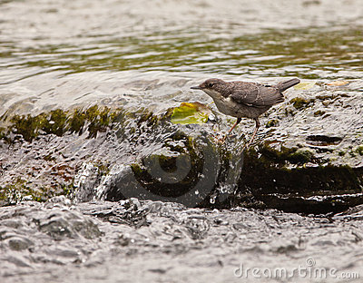 White-throated Dipper keeping the balance