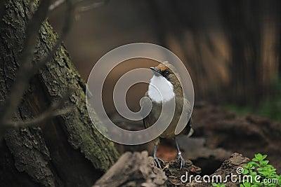 White-throated laughingthrush