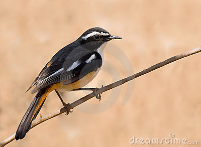 White throated robin