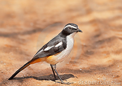 White throated Robin Chat
