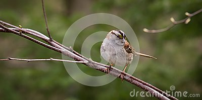 White-throated Sparrow on a Branch