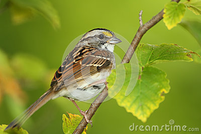 White-throated Sparrow Perched in a Shrub