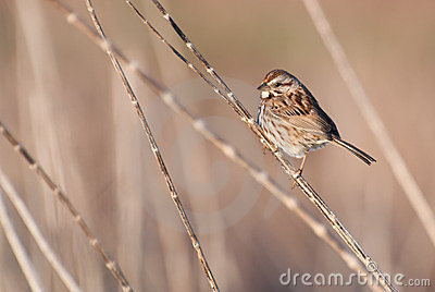 White-throated Sparrow Perched On a Twig