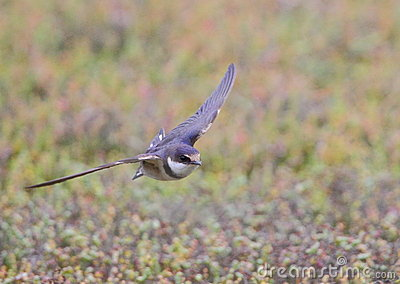 White Throated Swallow in flight