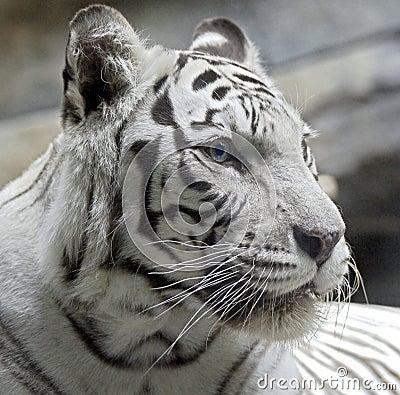 White tiger 12