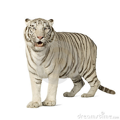 Free White Tiger (3 Years) Stock Photography - 4243372