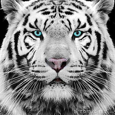 Free White Tiger Royalty Free Stock Photo - 32012325