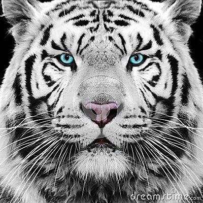 Free White Tiger Royalty Free Stock Photo - 32012325