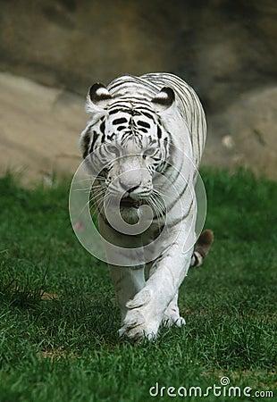 Free White Tiger Stock Photos - 361823