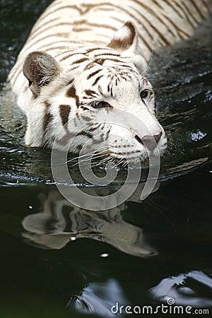 Free White Tiger Stock Photo - 3676680