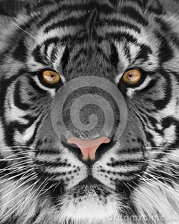 Free White Tiger Royalty Free Stock Image - 37954506