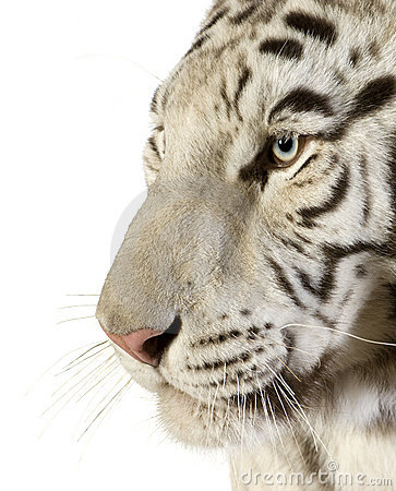 Free White Tiger Royalty Free Stock Images - 3914649