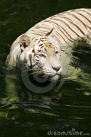 Free White Tiger Royalty Free Stock Photography - 4406527