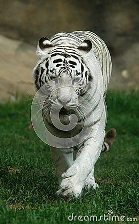 Free White Tiger Stock Image - 519561