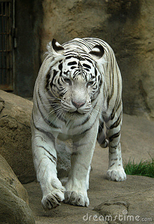 Free White Tiger Royalty Free Stock Images - 529929
