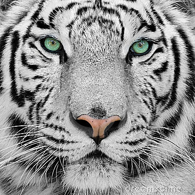 Free White Tiger Stock Photography - 9008802