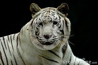 White tiger of bengali