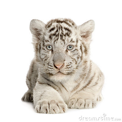 Free White Tiger Cub (2 Months) Royalty Free Stock Image - 5207986