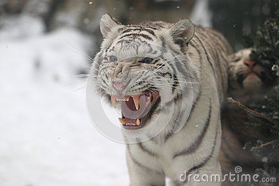 White Tiger Cub Stock Photography - Image: 28632472