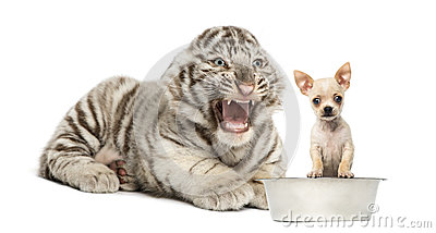 White tiger cub screaming at a Chihuahua puppy, isolated