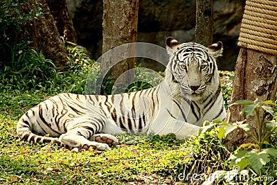 White Tiger lie on grass