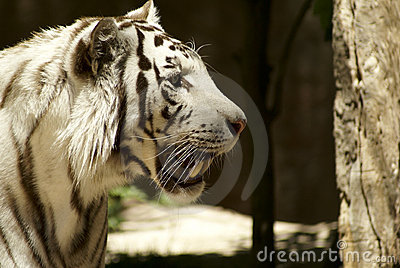 White tiger looking for