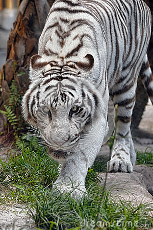 A White Tiger On The Prowl