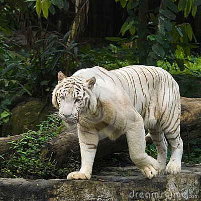 White Tiger Prowl