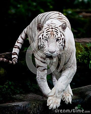 White Tiger Prowling
