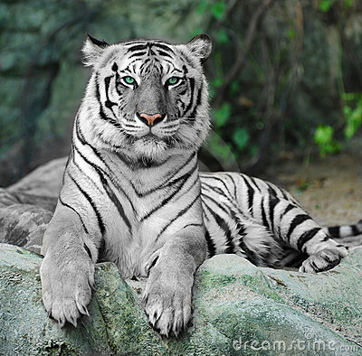 WHITE TIGER on a rock in zoo