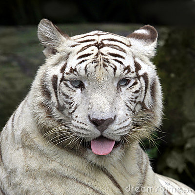 Smiling Tiger Face Stock Photo 142951342 : Shutterstock