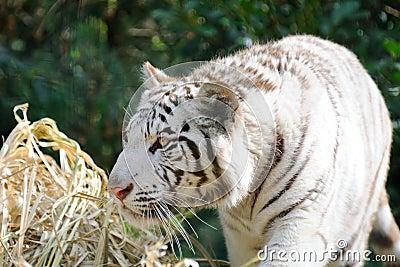 White tiger stalking