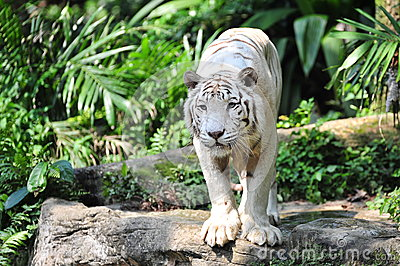 White tiger staring at its prey