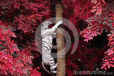 White tigers are climbing trees in the wild nature. Stock Photo
