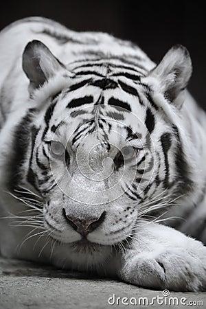 White Tigress Stock Photography - Image: 8474382