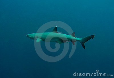 White tip reef shark open ocean sipadan