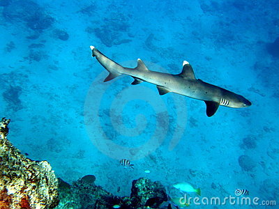 White Tip Reef Shark Fiji