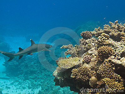 White Tip Reef Shark on GB reef